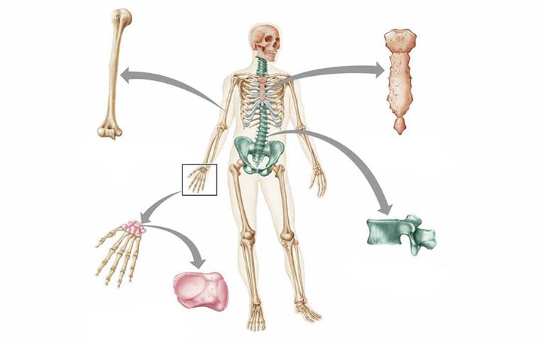 bộ xương người gồm mấy phần