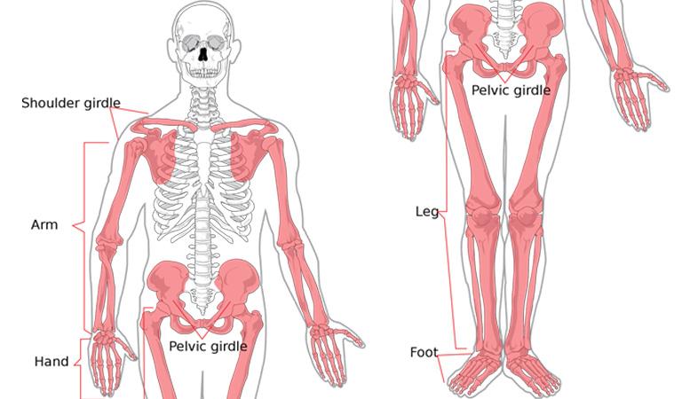 hệ xương người