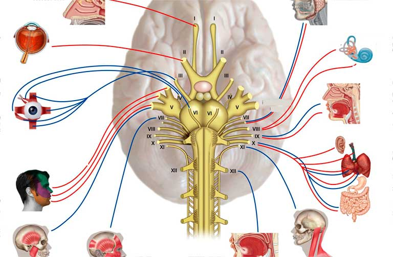 cấu tạo của dây thần kinh tủy