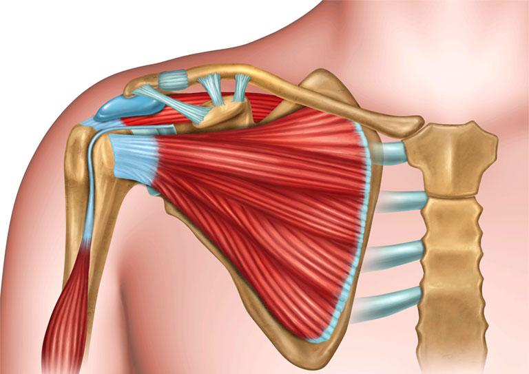 cấu tạo xương khớp vai
