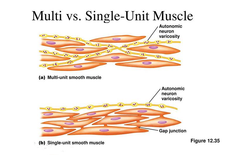 Đặc điểm của cơ trơn đa đơn vị và một đơn vị