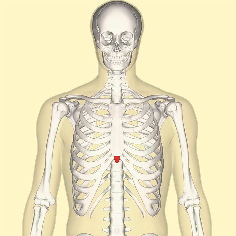 Mũi ức (xiphisternum hoặc metasternum)