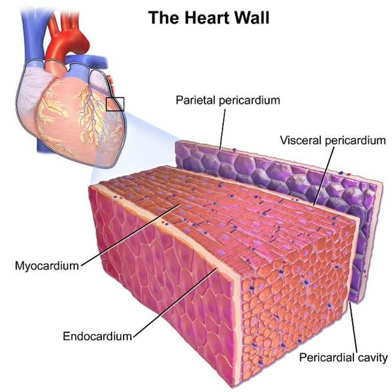 Cơ tim kết hợp với một cấu trúc ba lớp tạo thành thành tim