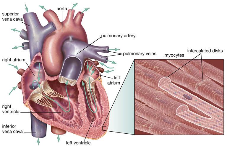 Cơ tim