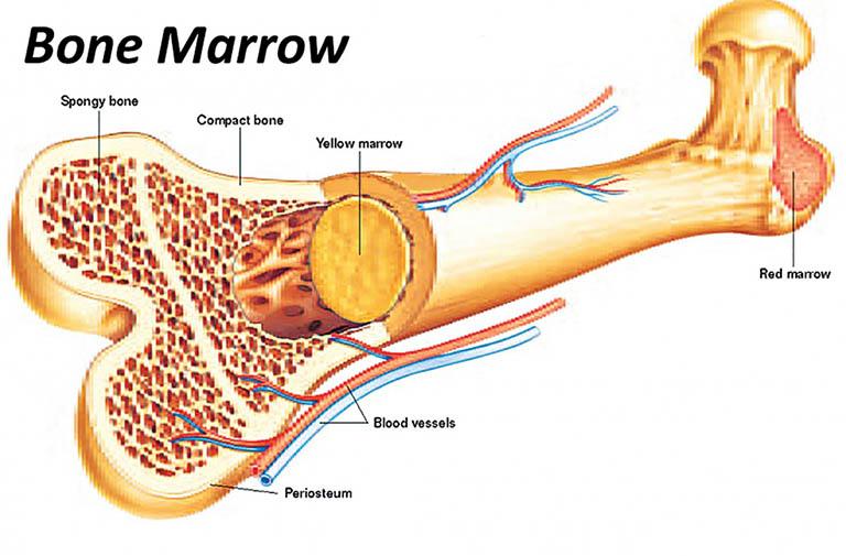 cấu tạo của tủy xương