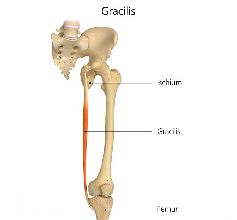 Cơ Gracilis